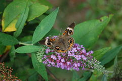 Buckeye on a Butterfly Bush Royalty Free Stock Photo