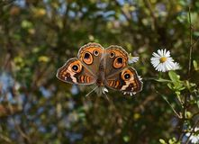 Buckeye Butterfly, Butterfly Stock Photos