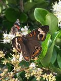 Buckeye butterfly. A buckeye butterfly drinking nectar on a ligustrum plant Stock Images