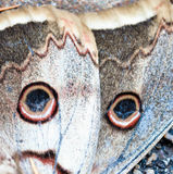 Buckeye butterfly fragment Stock Images