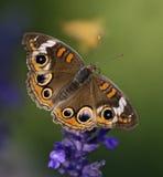 Buckeye Butterfly. Buckeye in a butterfly Garden in Missouri Royalty Free Stock Image