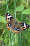 Buckeye butterfly on green stalk, wings spread out. This brown butterfly with large blue and brown eyes on its wings is called a Buckeye butterfly Stock Image