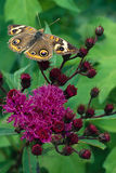 Buckeye Butterfly on Ironweed Flower. Buckeye butterfly perched on top of an Ironweed blossom Royalty Free Stock Photos