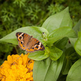 Buckeye butterfly Royalty Free Stock Image
