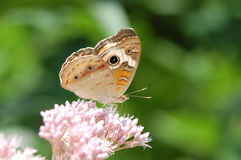 Buckeye Butterfly. Junonia coenia, on a flower, showing wing undersides Royalty Free Stock Photo