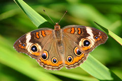 Buckeye Butterfly (Junonia coenia) Stock Photos
