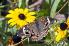 Buckeye Butterfly and Yellow Flowers. A common buckeye butterfly rests near yellow rudibeckia wildflowers Stock Photo