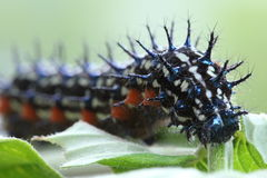 Buckeye Caterpillar Royalty Free Stock Photos