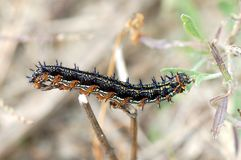 Buckeye Caterpillar Stock Photos
