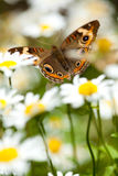 Buckeye in Daisies. Buckeye butterfly lands in a field of daises stock photography