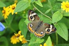 Buckeye butterfly or Junonia coenia. Junonia coenia aka Common Buckeye or Buckeye butterfly Stock Images