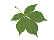 Buckeye leaf Royalty Free Stock Photography