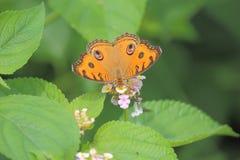 Buckeye motyl na dzikiego kwiatu roślinie obraz royalty free