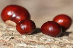 Buckeye - Seeds. Seeds of the chestnut - macro shot Royalty Free Stock Photos