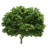 Buckeye Tree Isolated Stock Photos