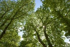 Buckeye tree Stock Photo