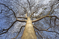 Buckeye tree Royalty Free Stock Images