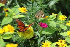 Buckeye and Viceroy butterflies. A buckeye (Junonia coenia) and viceroy (Limenitis archippus) among some flowers Royalty Free Stock Photos