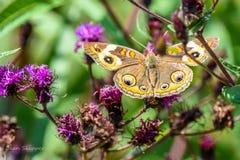 Buckeyefjäril på den infödda växten för ironweed Fotografering för Bildbyråer