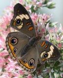 Buckeyefjäril på den trädgårds- blomman Arkivfoto