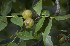 Buckeyes on the tree Royalty Free Stock Photo