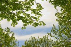 Buckeyeträd Arkivfoton