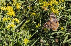 Buckeyevlinder en een bij Royalty-vrije Stock Fotografie