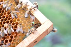 Free Buckfast Queen Bee Marked With Green Dot In Bee Hive Royalty Free Stock Images - 210384419