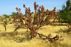 Buckhorm cholla仙人掌Cylindropuntia acanthocarpa 免版税库存照片
