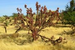 Buckhorm-cholla Kaktus Cylindropuntia-acanthocarpa Lizenzfreies Stockfoto