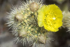 Buckhorn Cholla Cactus, Anza Borrego Desert, CA Stock Images