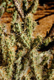 Buckhorn cholla Stock Photo