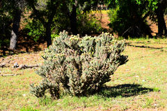 Buckhorn Cholla Stock Images