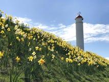 Buckie灯塔和黄色黄水仙 免版税库存图片