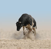 Bucking Bull Royalty Free Stock Photos