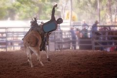 Bucking Bull With Cowboy Rider At An Indoor Country Rodeo Royalty Free Stock Photography