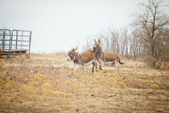 A bucking donkey. Two donkeys run in a field in the wintertime. The one in front is bucking the donkey behind her Royalty Free Stock Photo