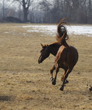 Bucking horse. Horse bucking and playing in pasture Royalty Free Stock Images