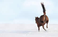 Bucking horse. Horse bucking in field of snow showing its two back hoofs Royalty Free Stock Photos
