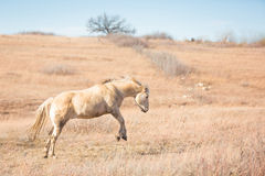 Bucking horse. A horizontal profile image of a happy Palomino horse bucking in a grassy pasture at winter time Royalty Free Stock Image