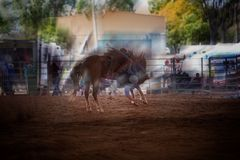 Bucking Horse At Indoor Rodeo. Bucking horse at indoor country rodeo, showing the motion Stock Photos