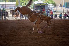 Bucking Horse At Indoor Rodeo. Riderless bucking bronco horse at indoor country rodeo Royalty Free Stock Photography