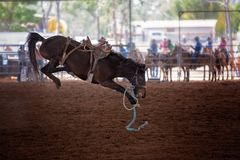 Bucking Horse At Rodeo. Riderless bucking bronco horse at indoor country rodeo Royalty Free Stock Photo