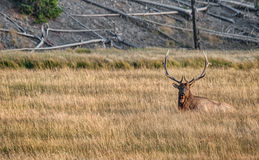 Large Male Elk rests in the Long Grasses of Yellowstone National Park. Large Elk sits Calmly in the Grasses of Yellowstone National Park in Autumn Stock Images