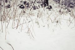 Buckled blades of grass. In snowy winter Royalty Free Stock Photo