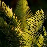 Buckler fern Royalty Free Stock Images