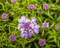 Buckling цветене цветка Стоковые Изображения