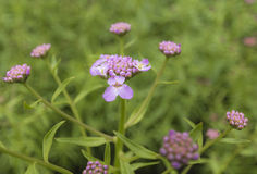 Buckling цветене цветка Стоковая Фотография