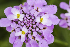 Buckling flower Royalty Free Stock Images
