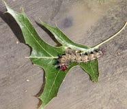 Buckmoth Caterpillar Crawling On An Oak Leaf.